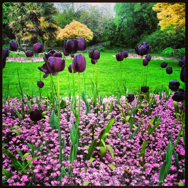 Tulips in Kingsnorth Gardens, Folkestone