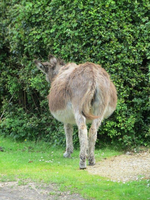 Very pregnant donkey