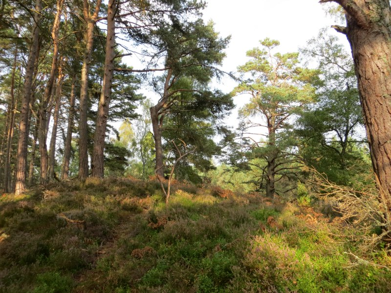 Woods on Rothiemurchus estate near Aviemore